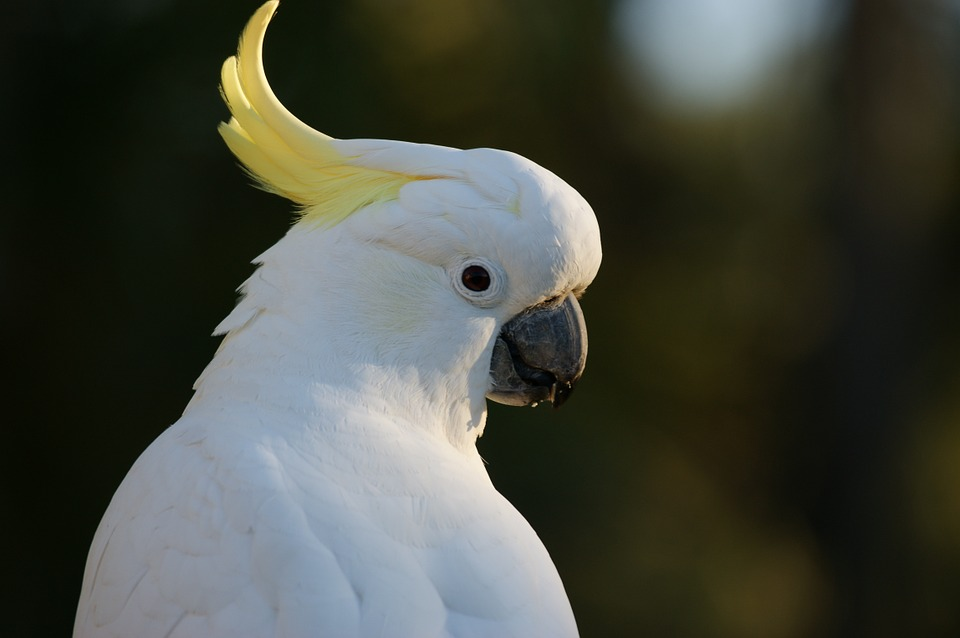 cockatoo-583921_960_720